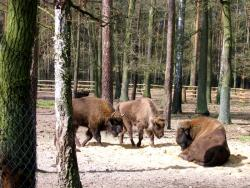 Żubry, European bisons